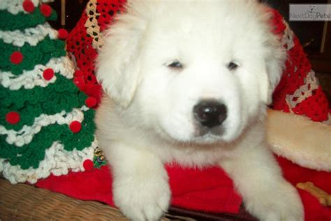 great pyrenees puppies for sale in ohio pyrenees puppies ohio images