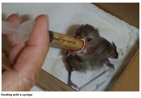 baby cowbird diet displaytoday