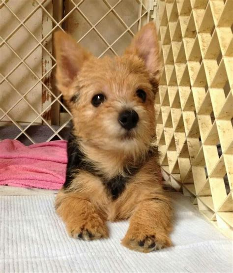 cairn terrier puppies ohio 246 best images about westies and other terriers on cairn terriers white