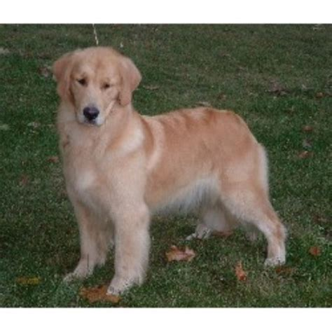 golden retriever breeder massachusetts monarch golden retrievers golden retriever breeder in haverhill massachusetts