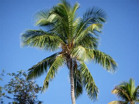 Coconut Tree pin coconut tree on