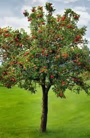 welcher obstbaum für kleinen garten apfelbaum und kirschbaum als halbstamm hinweise zur