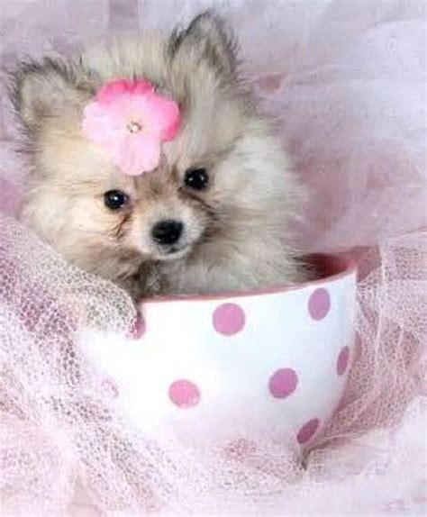 pomeranian breeds list teacup breeds list puppies teacup dogs breeds and breeds list