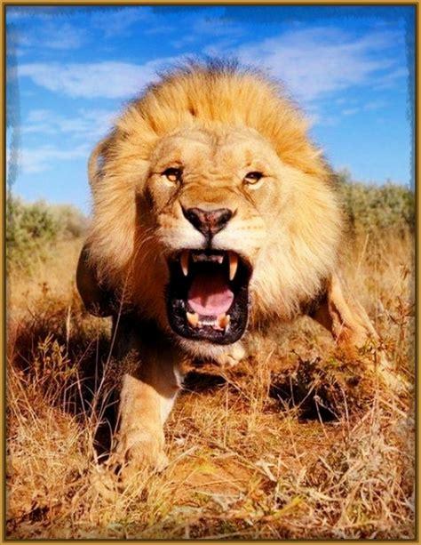 imagenes de leones swag imagenes de leones tiernos en caricatura archivos