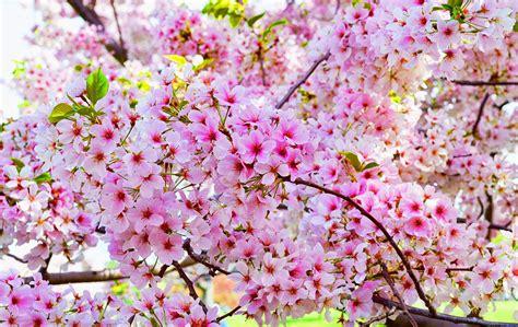 wallpaper bunga sakura bergerak 20 gambar bunga sakura jepang tercantik terindah