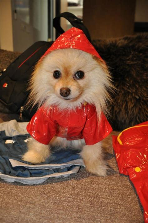 my pomeranian ate chocolate 184 best images about pom s own my