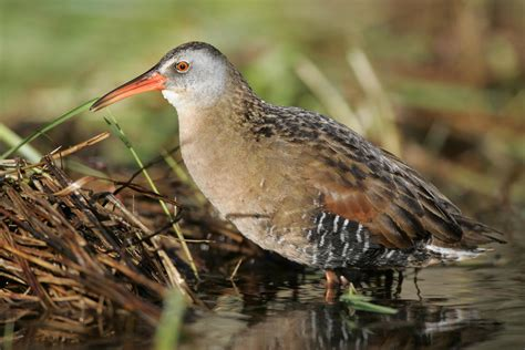 virginia rail audubon field guide