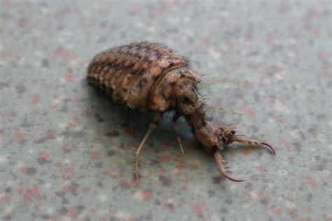 doodlebug in larval stage ants