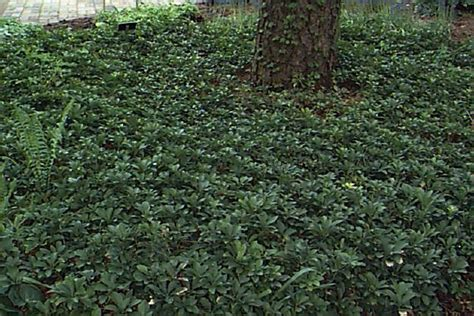 pachysandra also known as japanese spurge is a low