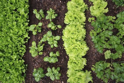 vegetable garden plants for sale community gardens going from seed to plate resulting in