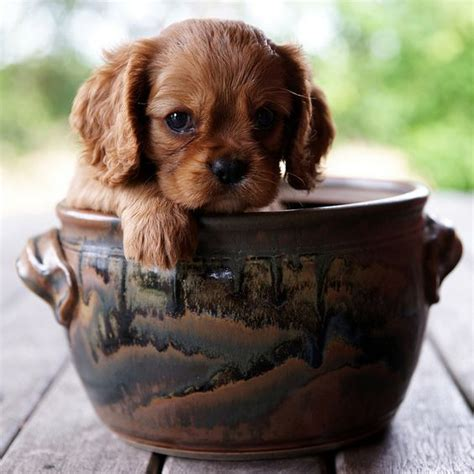 cup puppy cavalier king charles spaniel puppy dogs tea cup puppy dogs teacup puppies teacupdogs