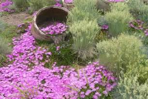 cover ground low ice plants gardening pinterest