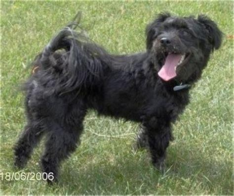 black pomeranian poodle mix the puppy vs the 3