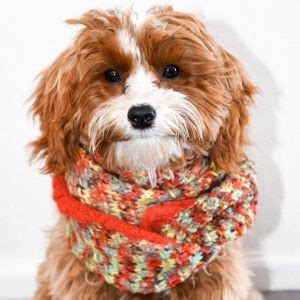 petit jean puppies cavapoochon the complete owners guide to the cavapoochon breed of