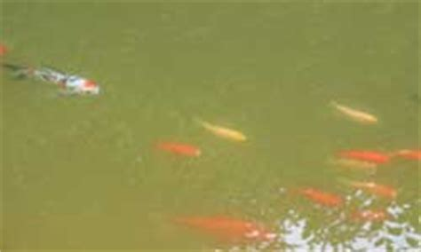 Klares Wasser Im Teich 1420 by Schwebealgen Ursache F 252 R Gr 252 Nes Wasser Im Teich