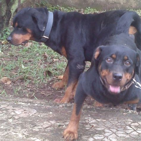purebred rottweilers for sale 3months purebred rottweiler for sale pets nigeria