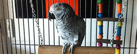 pappagallo in gabbia accessori pappagalli come allestire la gabbia animali