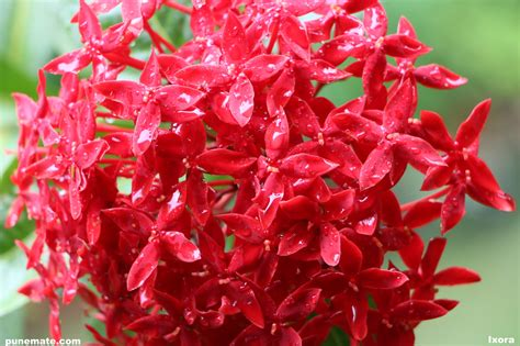 garden flowers of india plants and flowers of india and pune ixora punemate