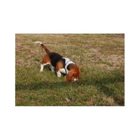 basset hound puppies alabama basset hound breeders in alabama freedoglistings