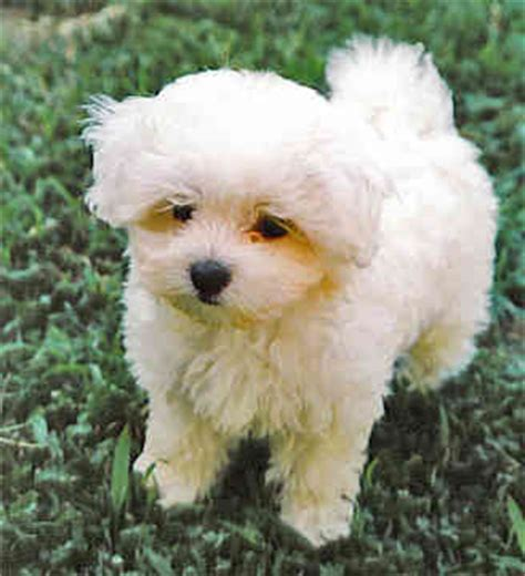 white maltese yorkie mix white yorkie maltese mix www pixshark images galleries with a bite