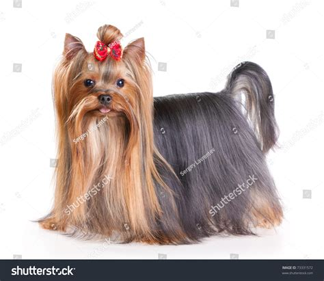 yorkie show terrier show coat terrier show coat isolated on stock photo