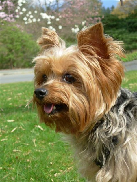 standard yorkie cut yorkie haircuts pictures terrier
