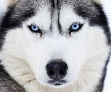 husky con occhi diversi husky occhi diversi idee di immagini di casamia