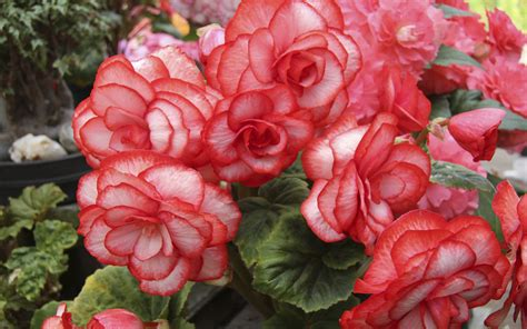 wallpaper begonia flowers red flowerbed 8742 wallpapers13 com
