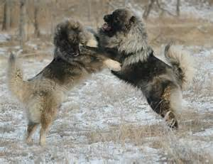 The breed has also been used as a versatile military dog in russia