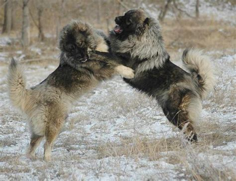 caucasian shepherd puppy caucasian ovtcharka breed standards