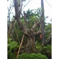 Jual Bibit Gurami Bali jual pohon kamboja bali dari bibit berkualitas jual