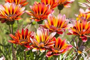 Summer Decorating Ideas gazania flowers low maintenance annuals