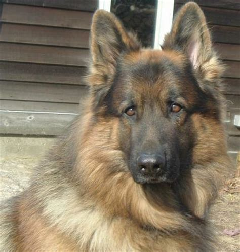 german shepherd puppies for sale in ct 1000 images about haired gsd on