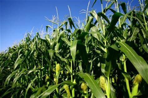 Pakan Ternak Pengganti Jagung teknik budidaya tanaman jagung petani hebat