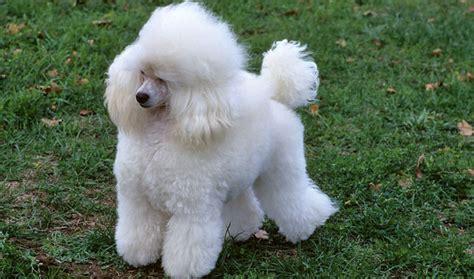 poodle dogs poodle breed information