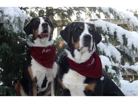 greater swiss mountain rescue greater swiss mountain dogs 6 by margrit burri breeds picture