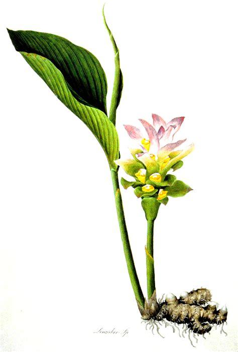 Curcuma Planter Et Cultiver Les Gingembre Planter Et Cultiver Ooreka