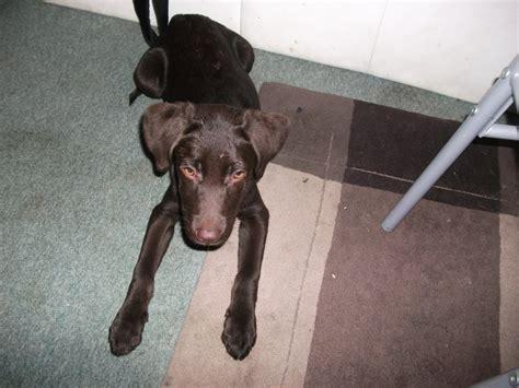 12 week lab puppy wispa 12 week labrador retriever for adoption