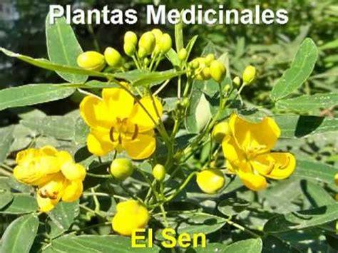 imagenes hojas de sen plantas medicinales hoja sen planta medicinal youtube