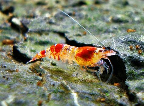 Harga Udang Hias udang hias cristal akuarium ikan hias