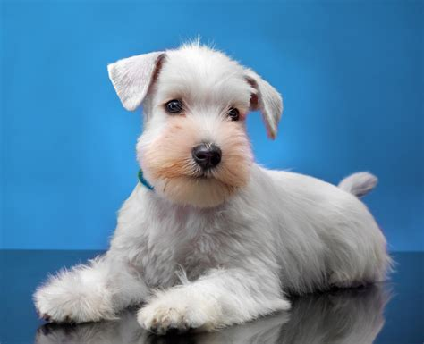 dogs 101 schnauzer grooming for schnauzers 101 combs pet brush and groomer apparel part 3 of 4