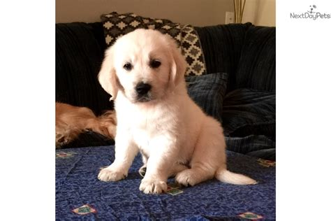 golden retriever breeder st louis golden retriever puppy for sale near st louis missouri 20b42d23 a141