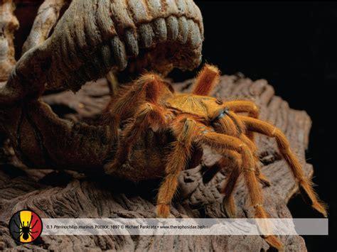 pterinochilus murinus theraphosidae