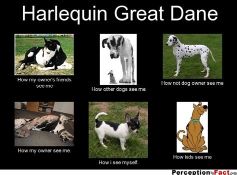 Great Dane Meme - harlequin great dane what people think i do what i