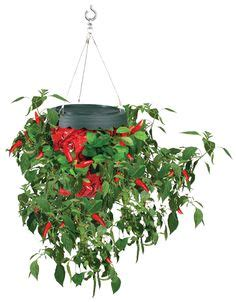Topsy Turvy Pepper Planter by Milk Tomato Planter And Milk Jug On