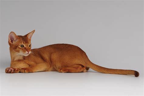 imagenes egipcias de gatos tipos de gatos tipologias