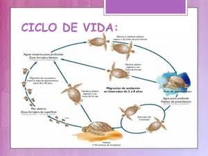 imagenes de ciclo de vida de la tortuga diapositivas tortuga