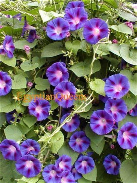 grandpa ott s flower seeds perennial morning glory