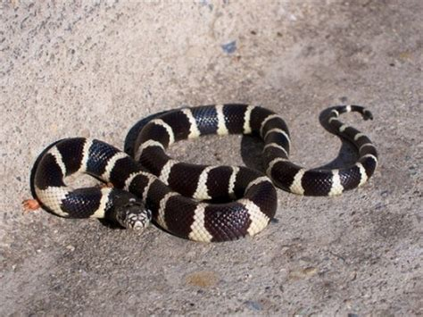 what type of snake is black with thin white ring around it