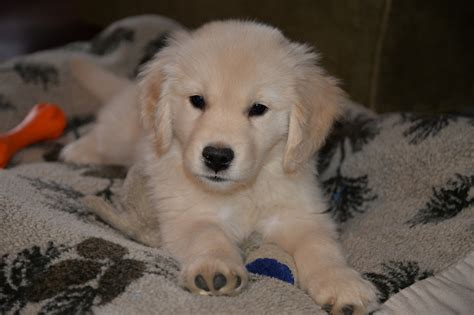 golden retriever breeders maine golden retriever puppies maine photo